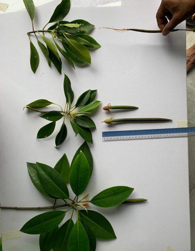 saveMaldives endangered mangrove die-off Maldives environment
